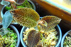 Anoectochilus reinwardetii