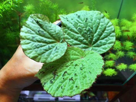 Begonia sp. Pulau Halmahera, GN-1