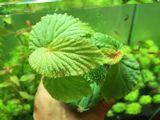 Begonia sp. Matang, 1 Mini