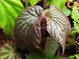 Begonia sp. Saripoi Mini