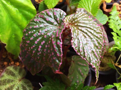 Begonia sp. Saripoi
